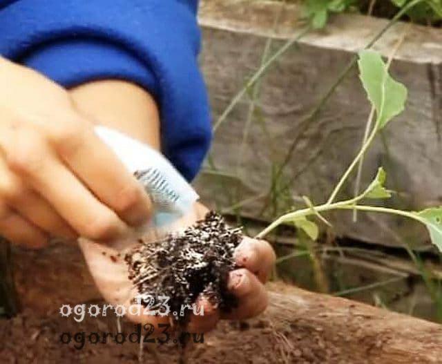 капуста выращивание и уход в открытом грунте 5