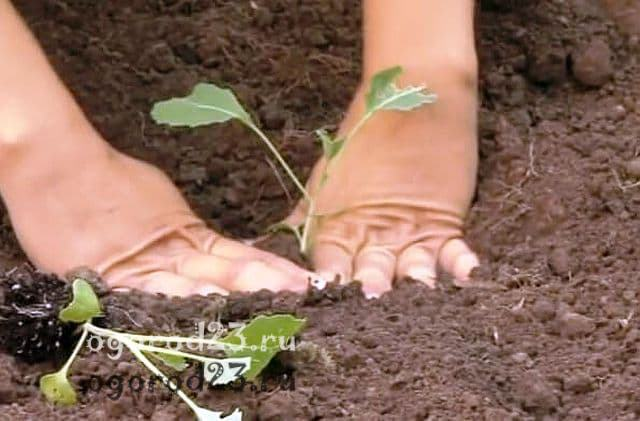 капуста выращивание и уход в открытом грунте 6