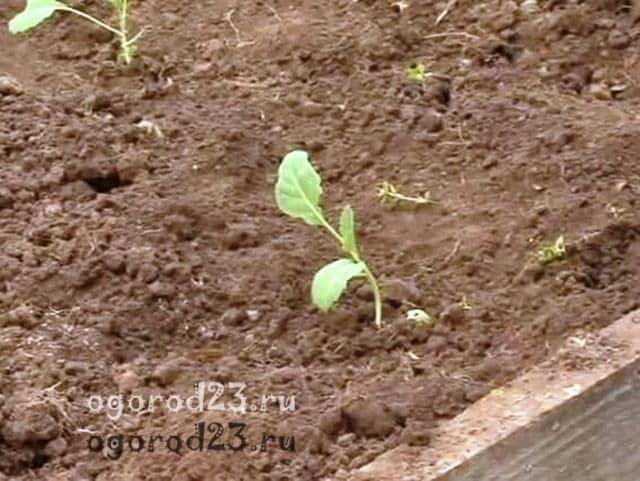 капуста выращивание и уход в открытом грунте 8