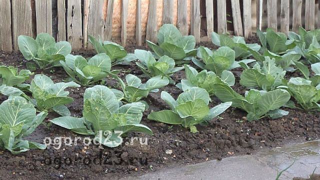 капуста выращивание и уход в открытом грунте 2