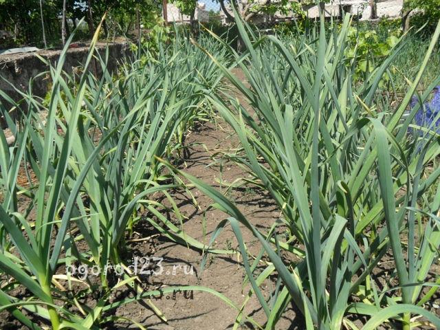 выращивание чеснока из бульбочек 5