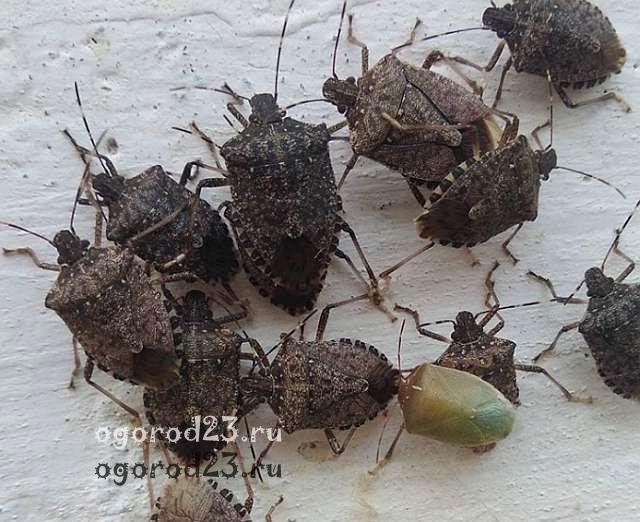 Мраморный или коричнево-мраморный клоп, борьба, ловушки