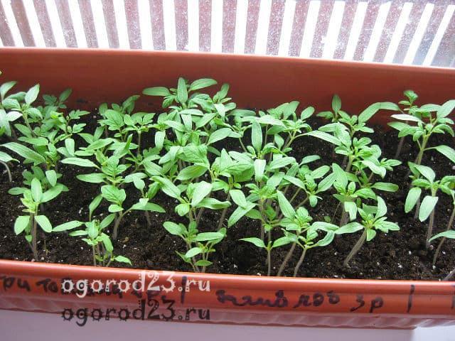 когда делать рассаду помидоров для открытого грунта