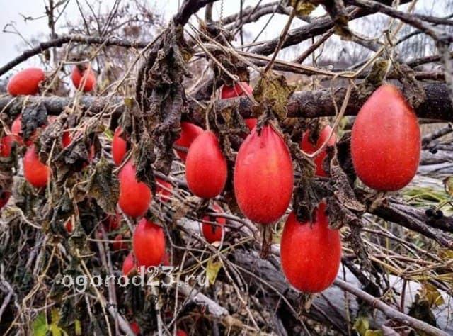 красный огурец фото 7