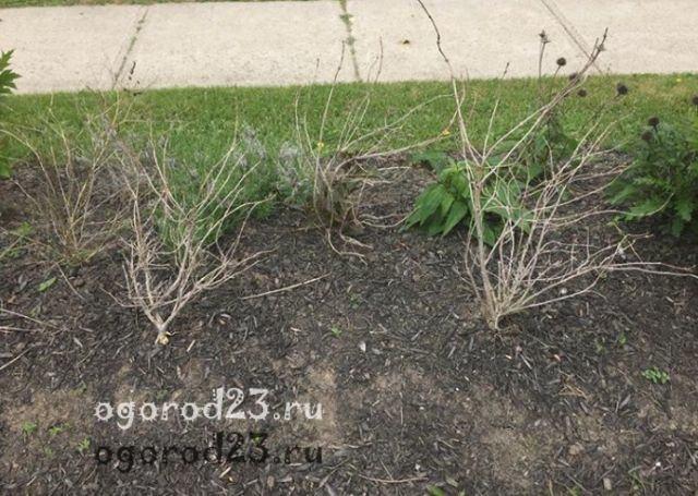 вейгела фото и описание кустарника 23